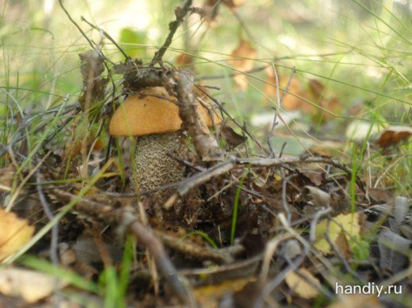 Фото фотография гриб подосиновик прячется под листиками в лесу